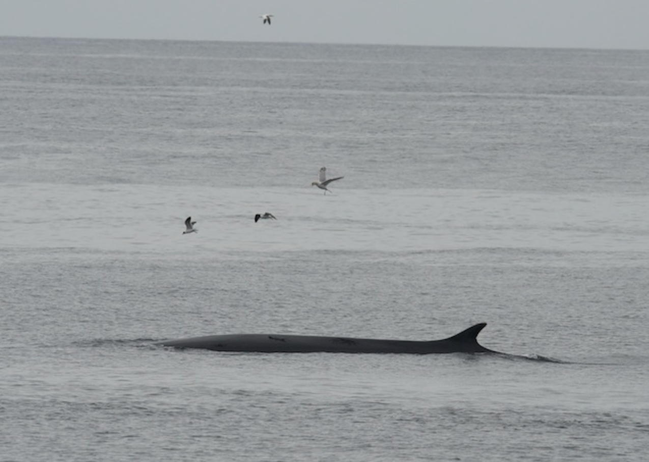 Fin Whale-Race Point