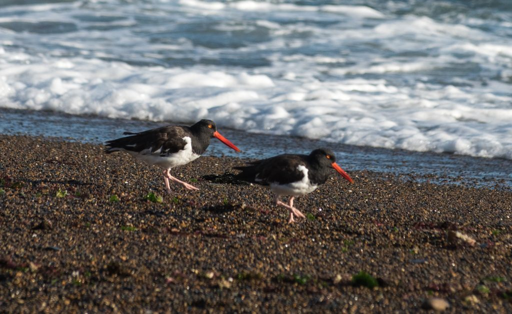 A lovely pair of Magellanic oystercatchers.