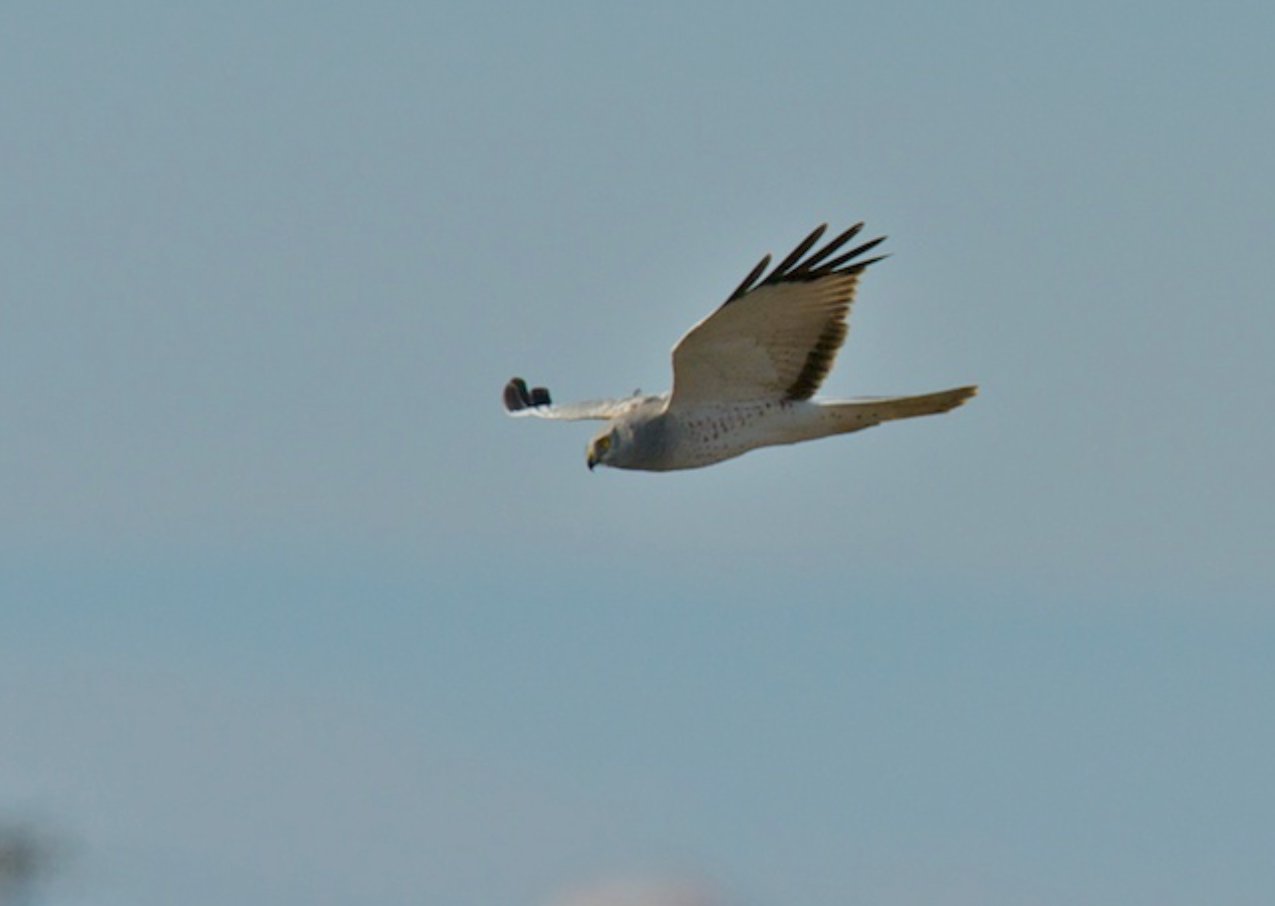 Northern Harrier (male) searches
