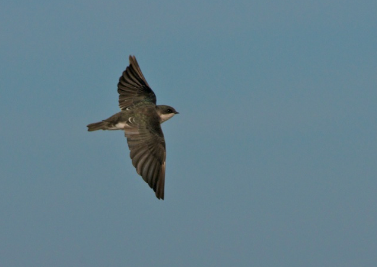 Tree swallow in all its glory