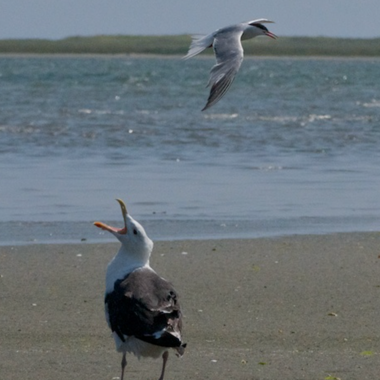 Greater Black backed Gull in _conversation_ with a Common Tern