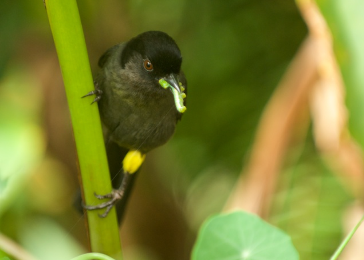 ellow thighed Finch - Savegre