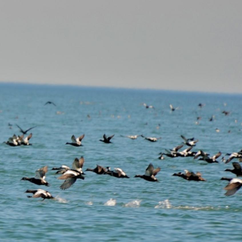 Sea ducks in flight, mostly common eiders, off Monomoy
