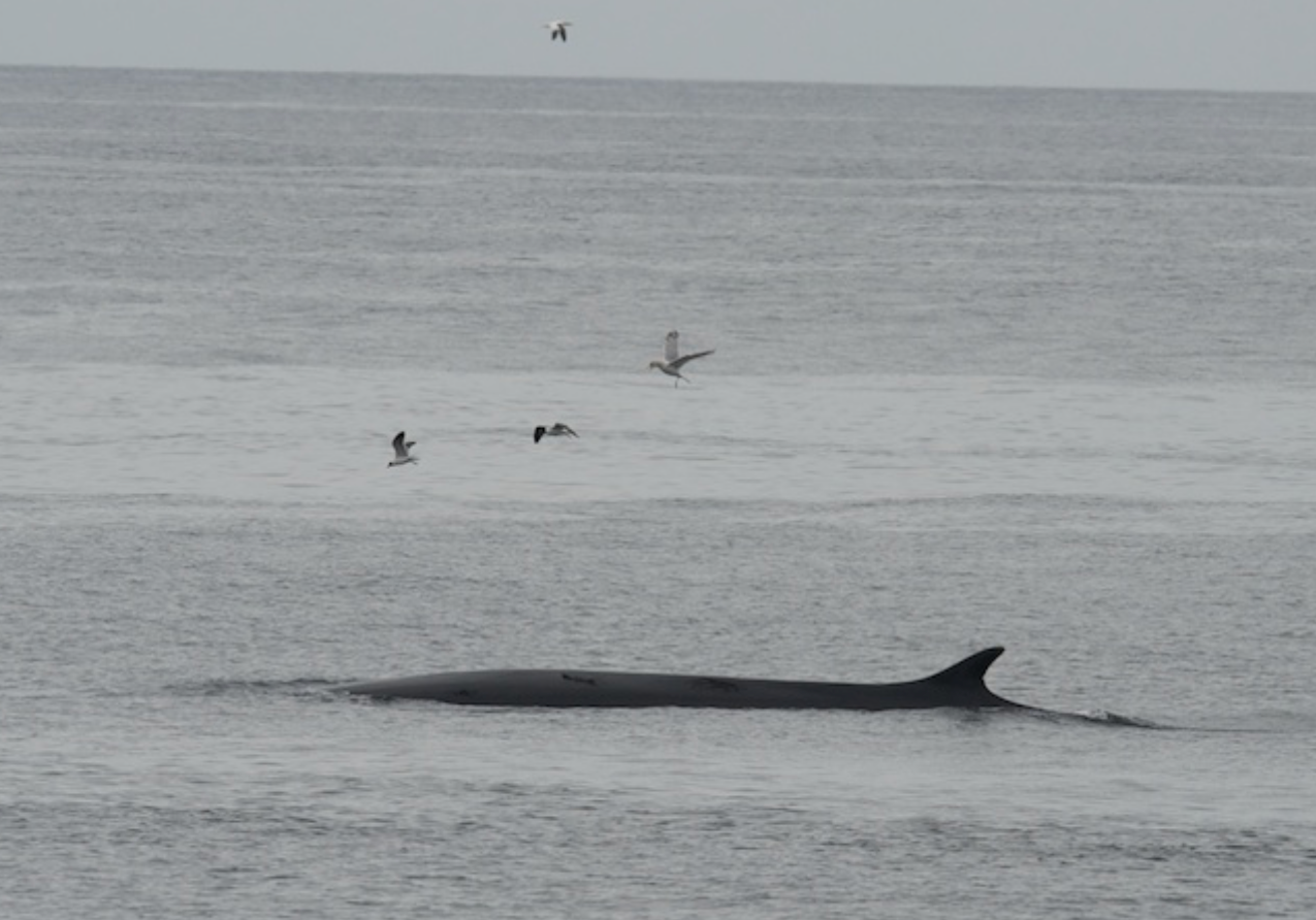 Fin Whale - race Point