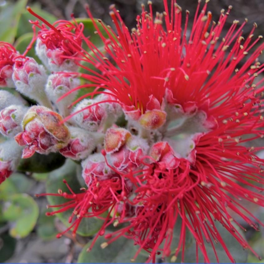Ohai Blossom, endemic tree blossom