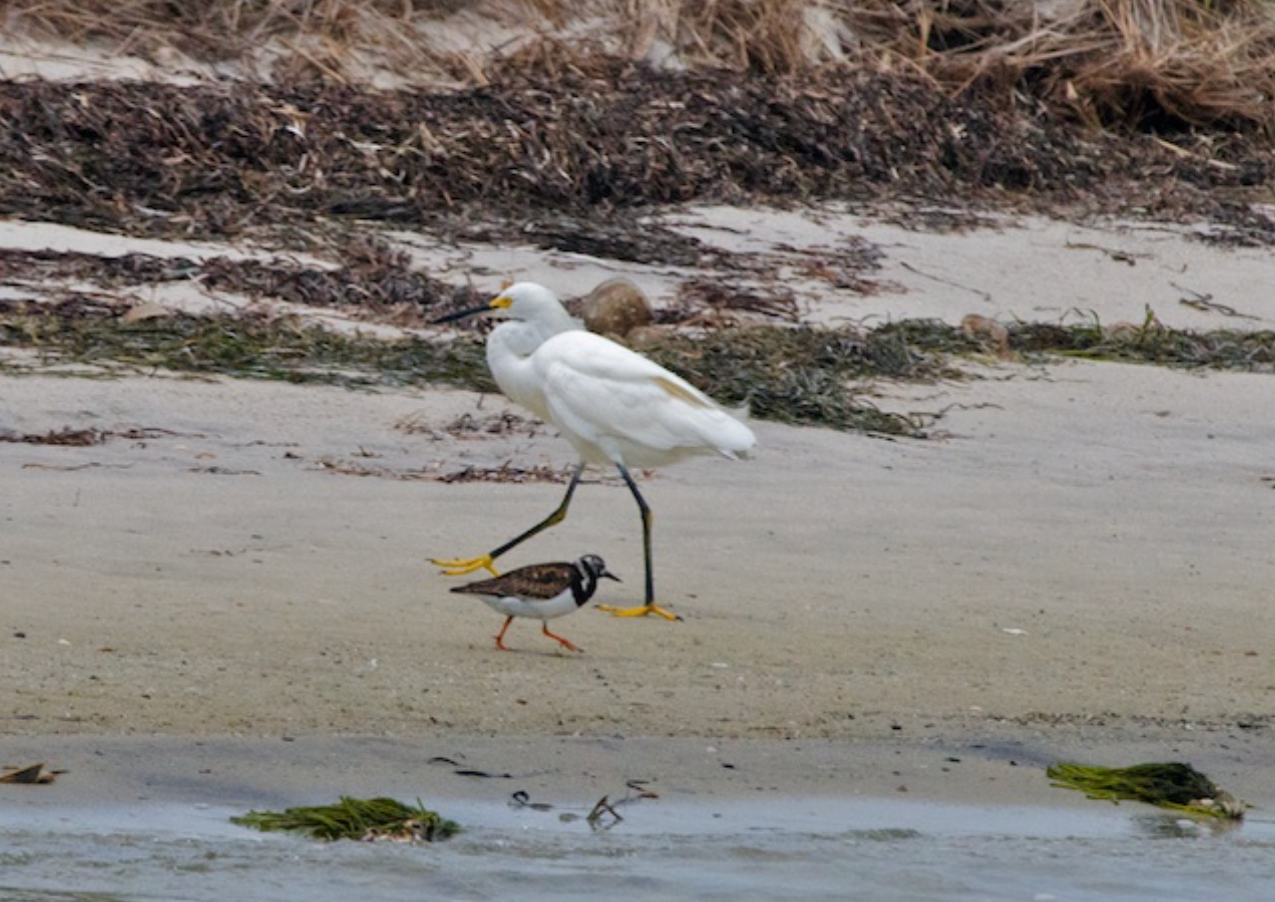 Crosstown traffic, snowy egret and a ruddy turnstone pass with a purpose, North Monomoy