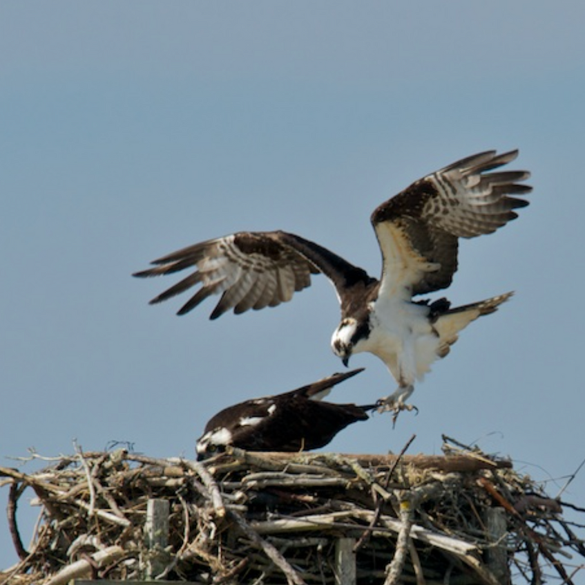 Ospreys on the nest-1