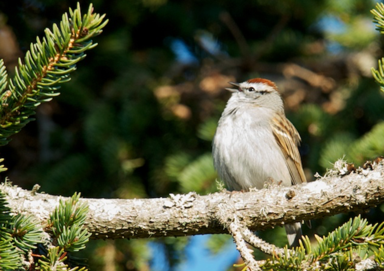Chipping Sparrow sings in the early morning, Chatham