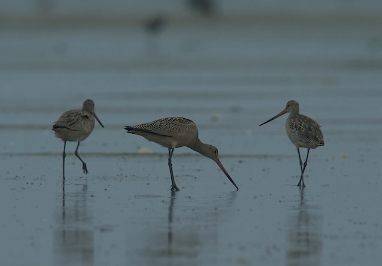 Marbled Godwits in Chatham