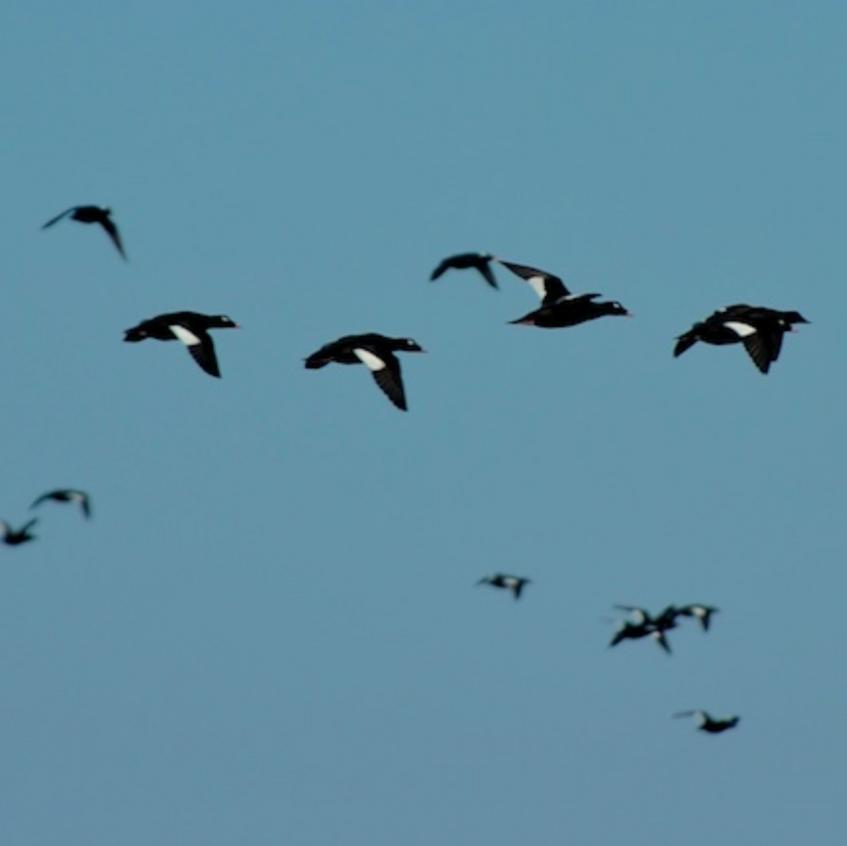 White winged scoters