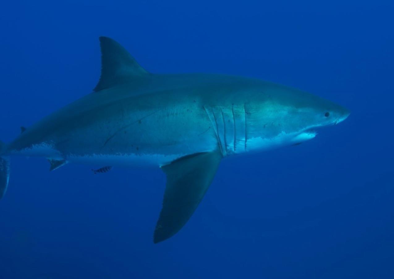 Shark-Guadeloupe Island, Mexico
