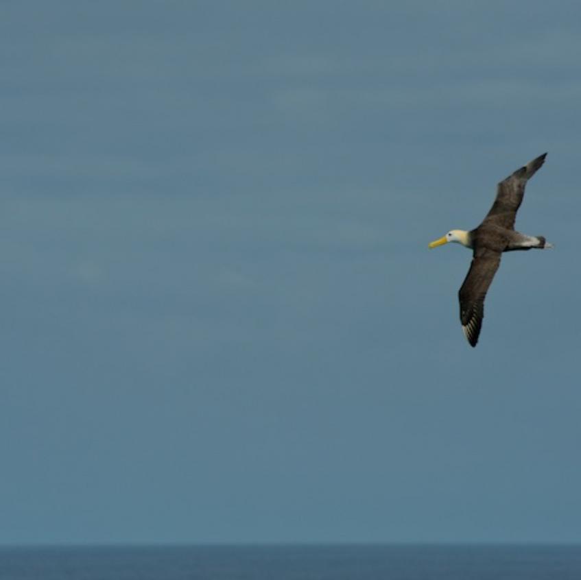 Wave Albatross heading for a landing