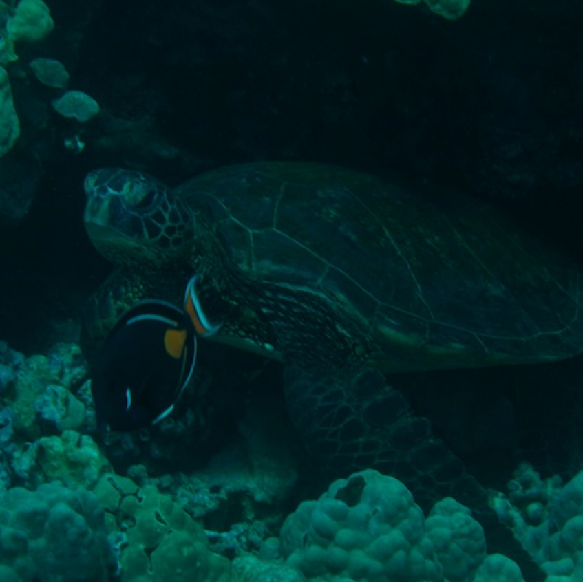 We observed these turtle at a _cleaning station_