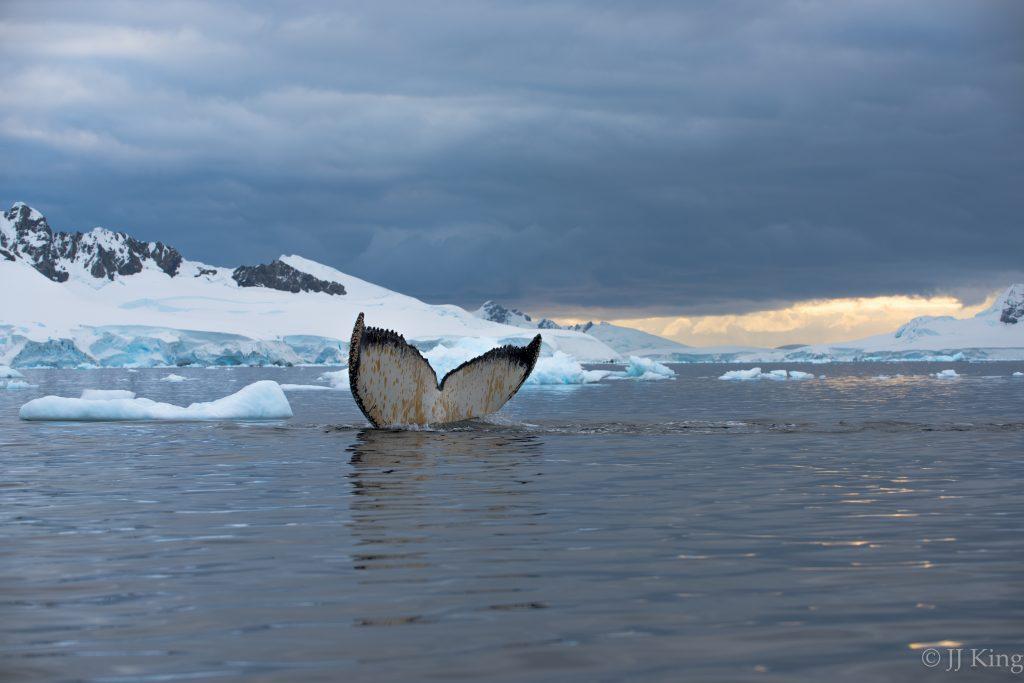 Humpback whale feeding on abundant krill at sunset. - Wilhelmina Bay, Antarctica (March 2016)