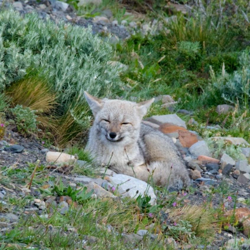 Magellanic Fox in rest mode