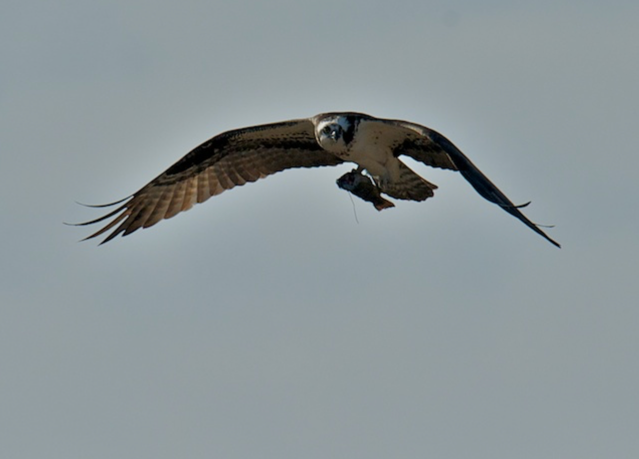 Can not get enough of these Osprey as they get organized for the season