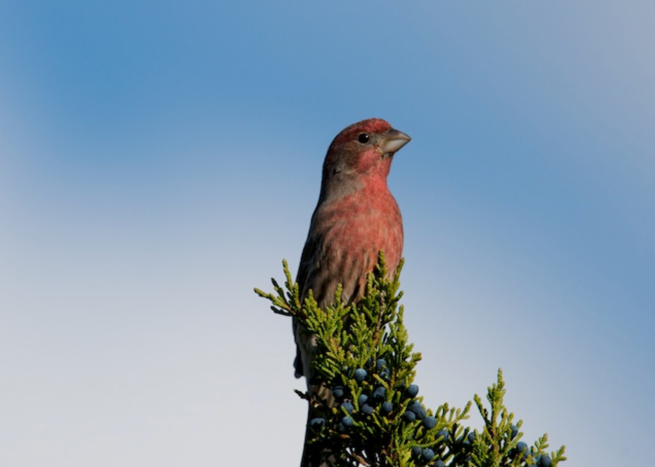House Finch, Chatham