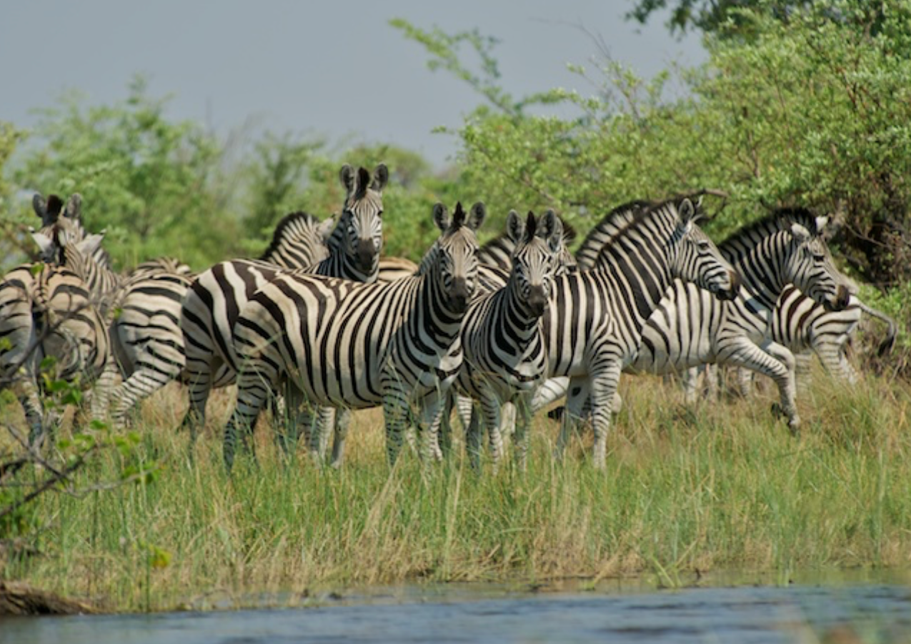 Zebras watch briefly before bolting, incredible sight...we snuck up on them on the river!