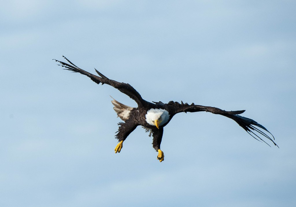 "When an eagle wishes to slow down it puts its ""flaps"" up by ruffling its feathers to create friction."