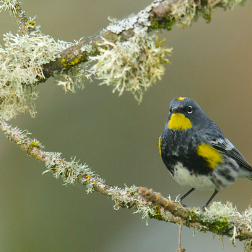A Yellow-Rumped Warbler migrant just showing up at Nisqually NWR on its way north