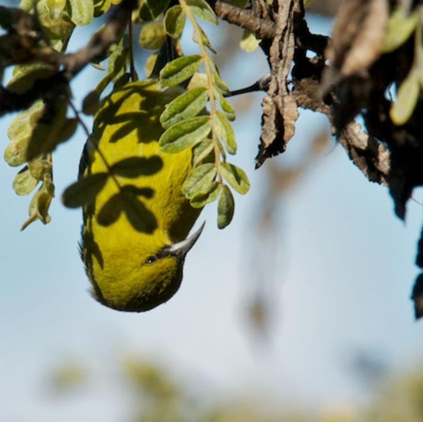 Amakihi feeds in endemic ohia trees