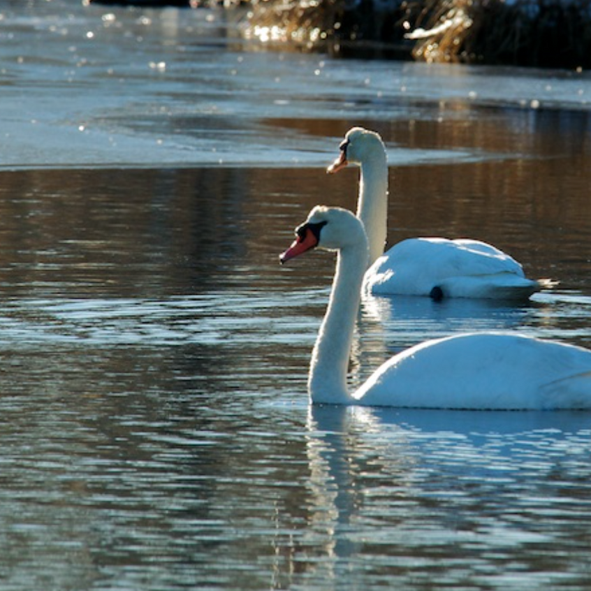 Pair of Mute Swans - Frost Fish Creek-Robert Verity Clem Trail