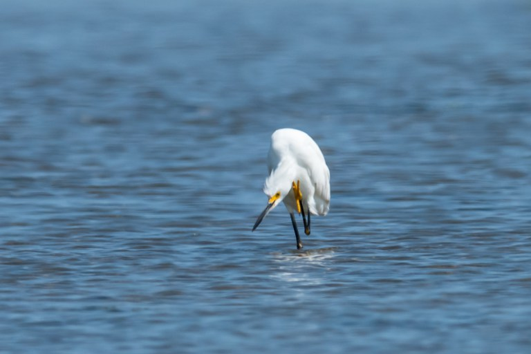 Snowy egret hunting intently.