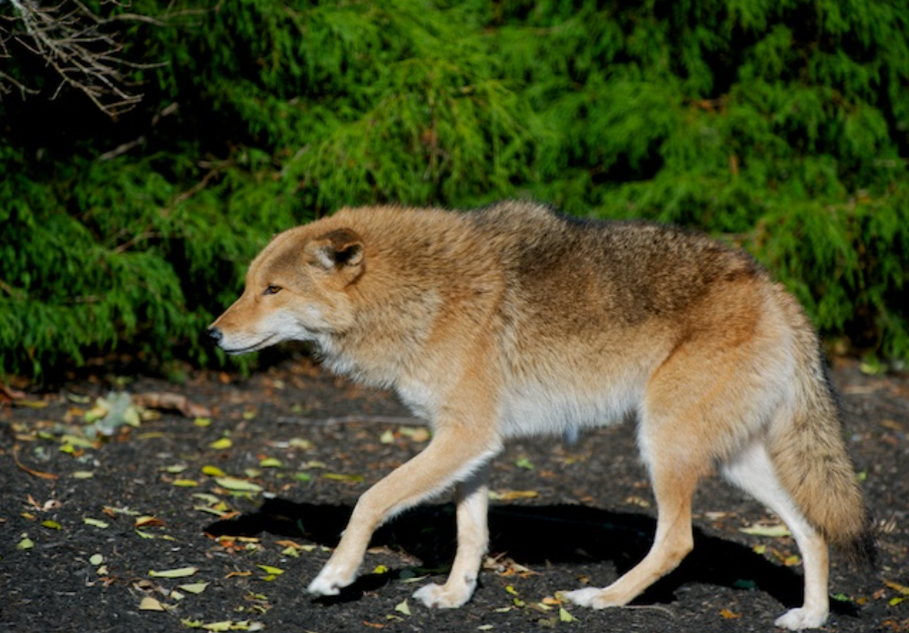 Eastern Coyote in North Chatham