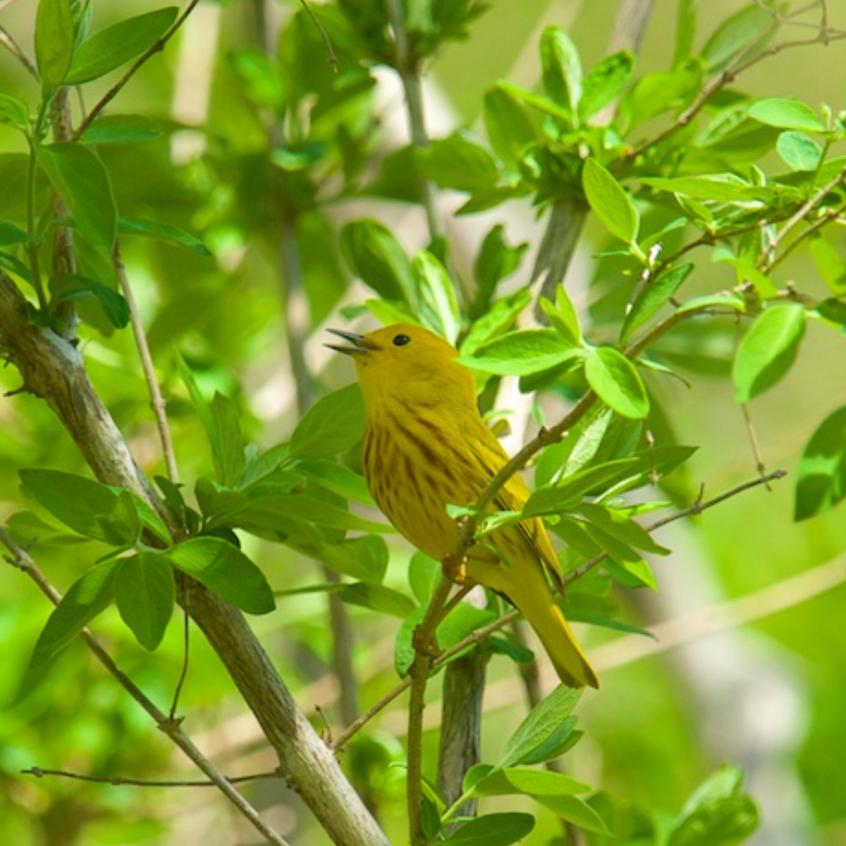 Beautiful singing yellow warbler
