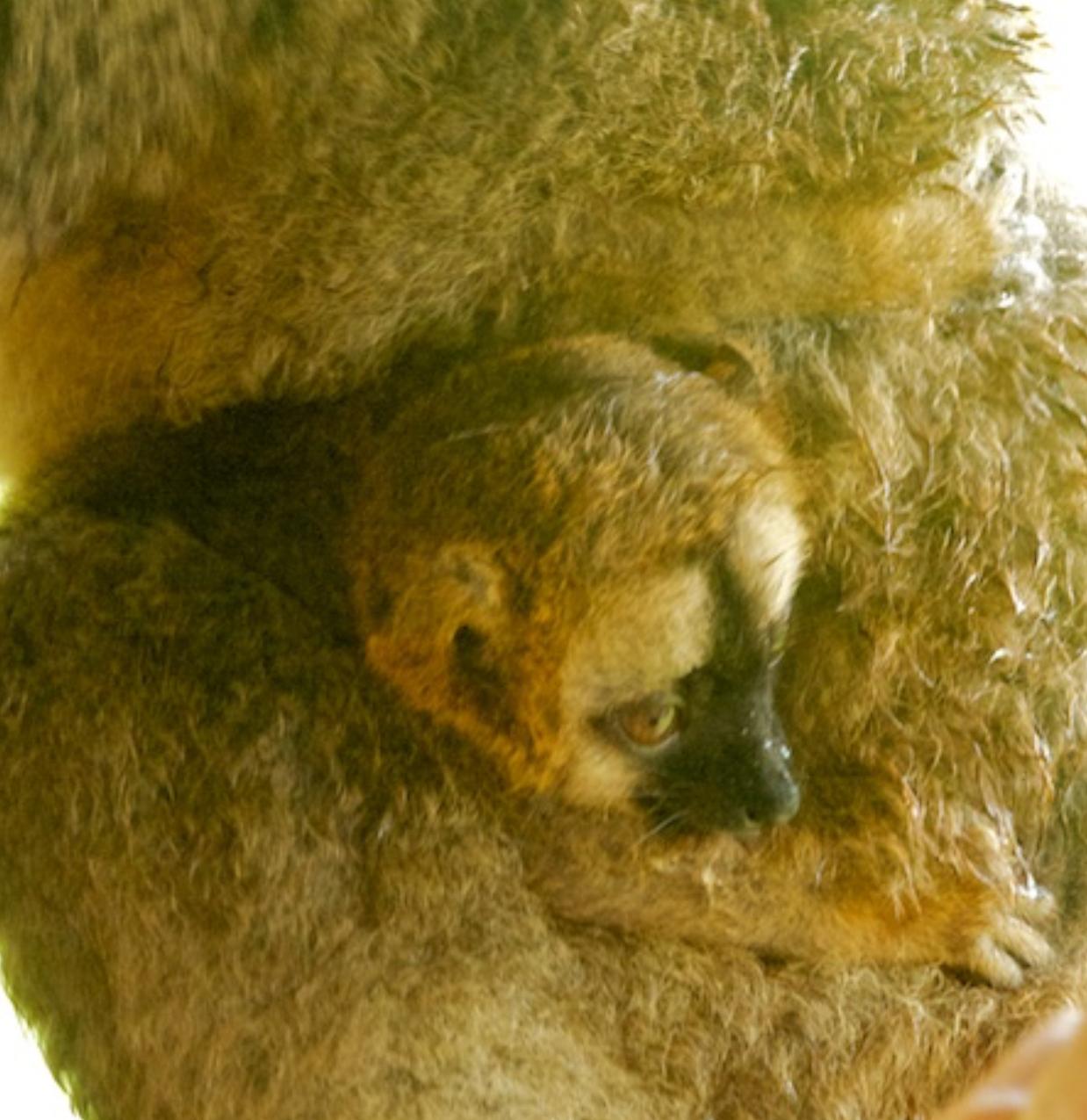 Infant Common Brown Lemur