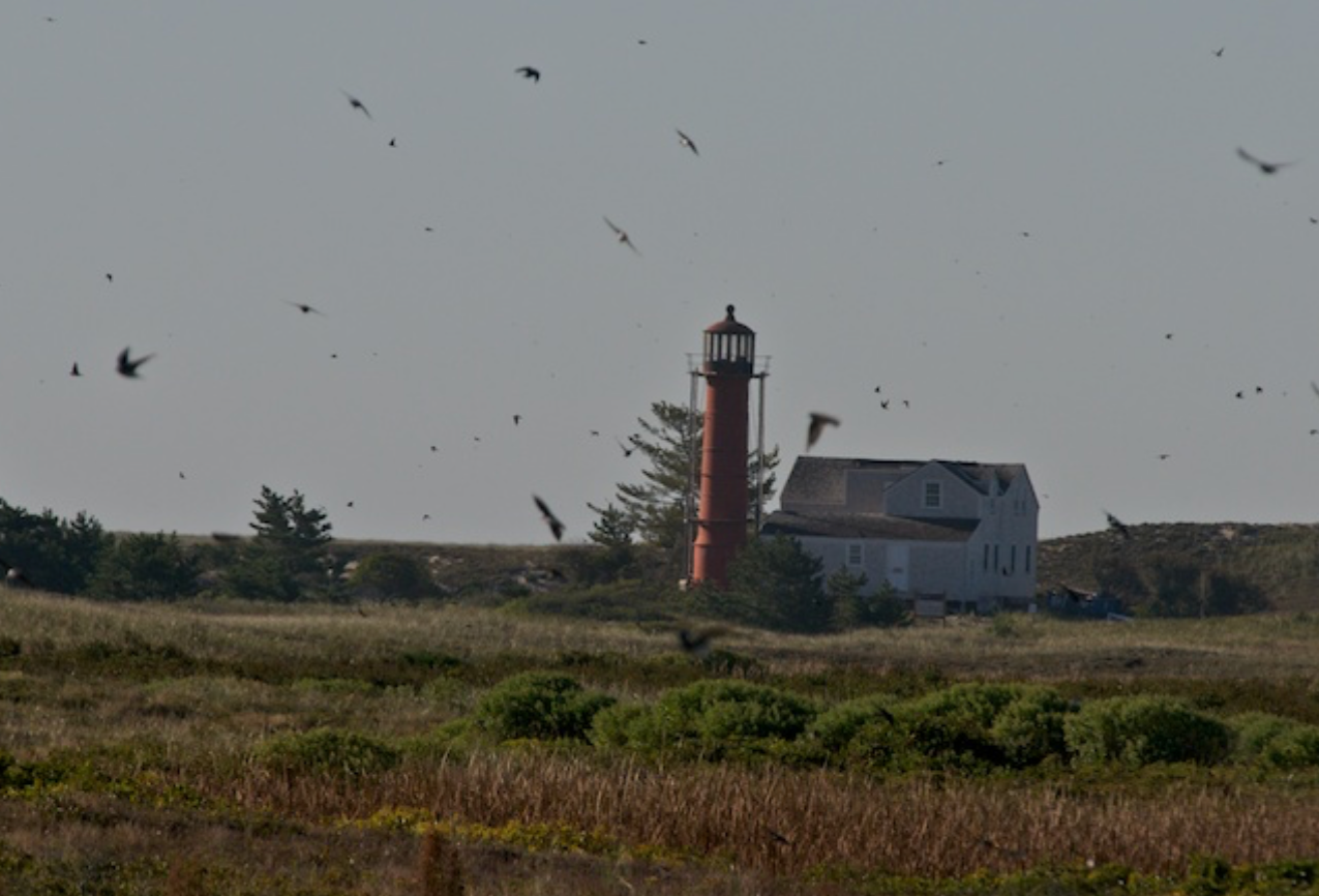 Swallows at the light on Monomoy