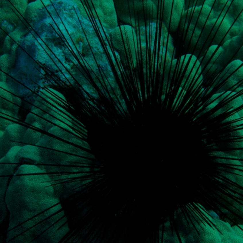 Sea urchin feeds in the shallow reef areas
