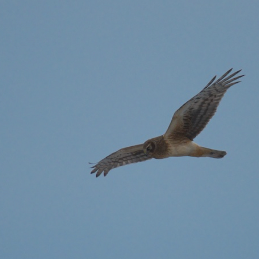 Northern Harrier in flight - Fort Hill, Eastham