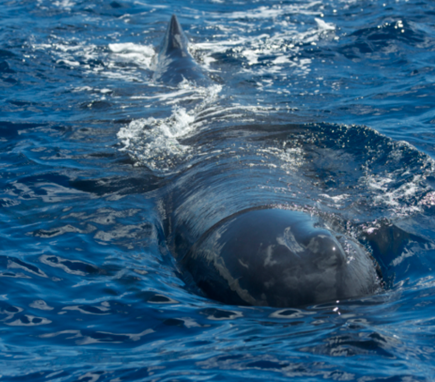 Young male sperm whale checks us out with a close approach to our boat.
