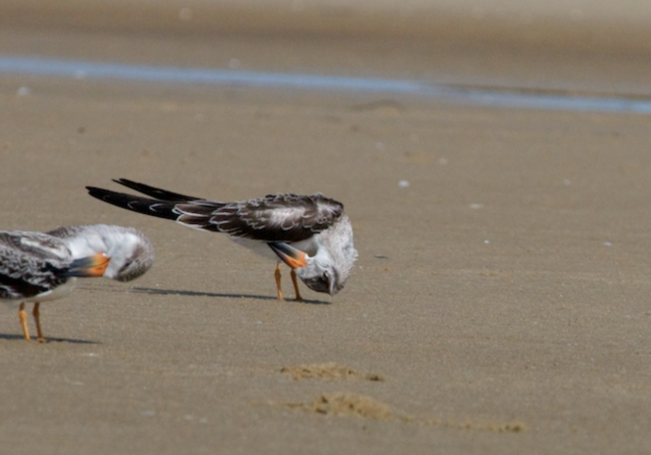 Young Black Skimmers preening