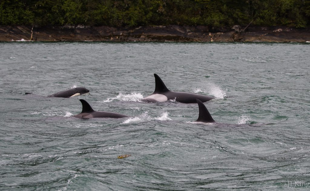 Killer whale pod (likely transient orcas) on the move. -Tracy Arm, Southeast Alaska (May 2016)