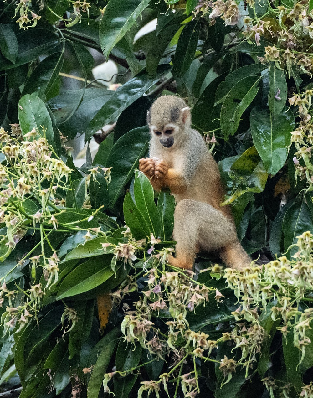 Golden backed Squirrel Monkey