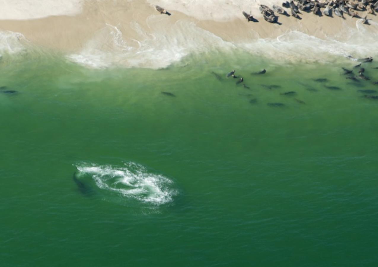 Predation event on a seal, Monomoy NWR, Cape Cod