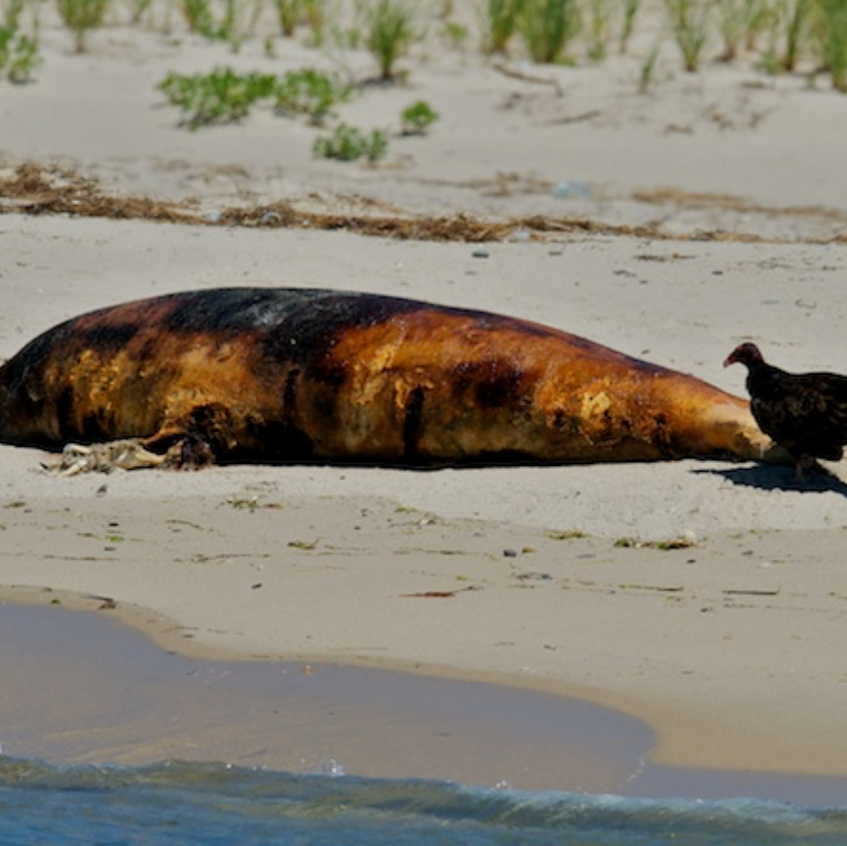 Carcass on Monomoy Point - June 30