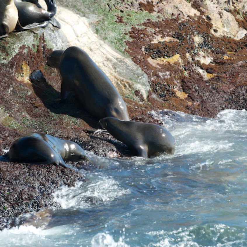 Seals wait to gather into groups before leaving the island for hunting to avoid predation from white sharks