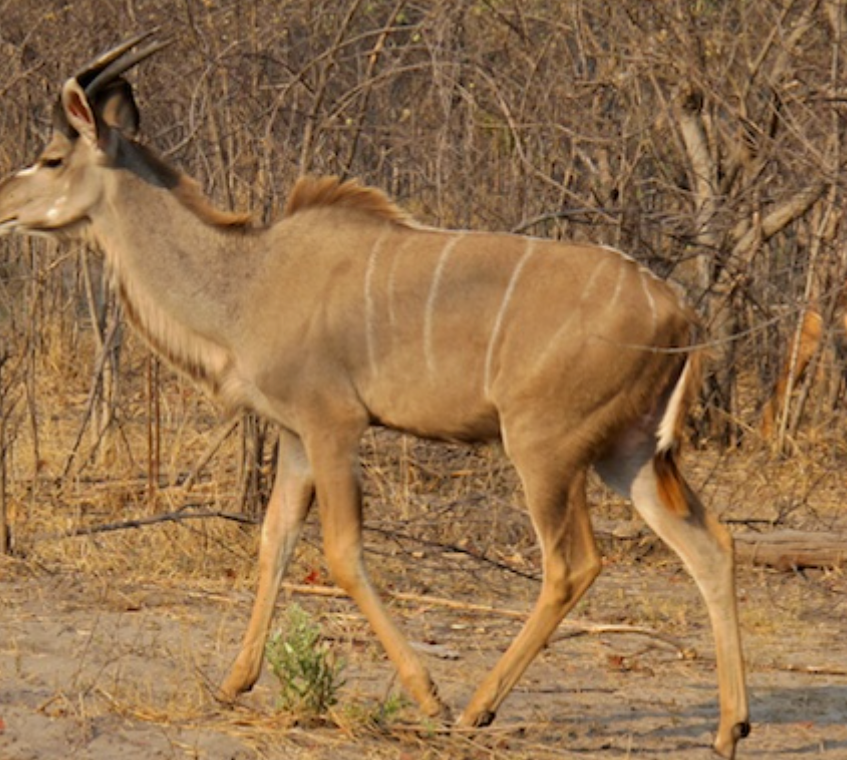 Young male kudu before the attack