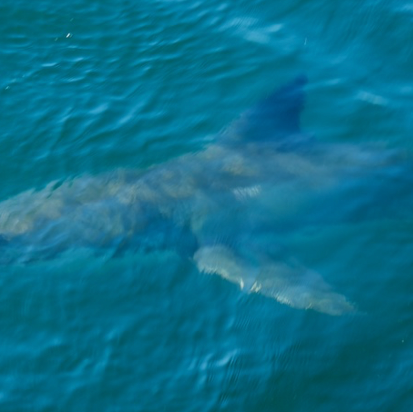 A 4 meter shark approaches - note the white scar on its snout.