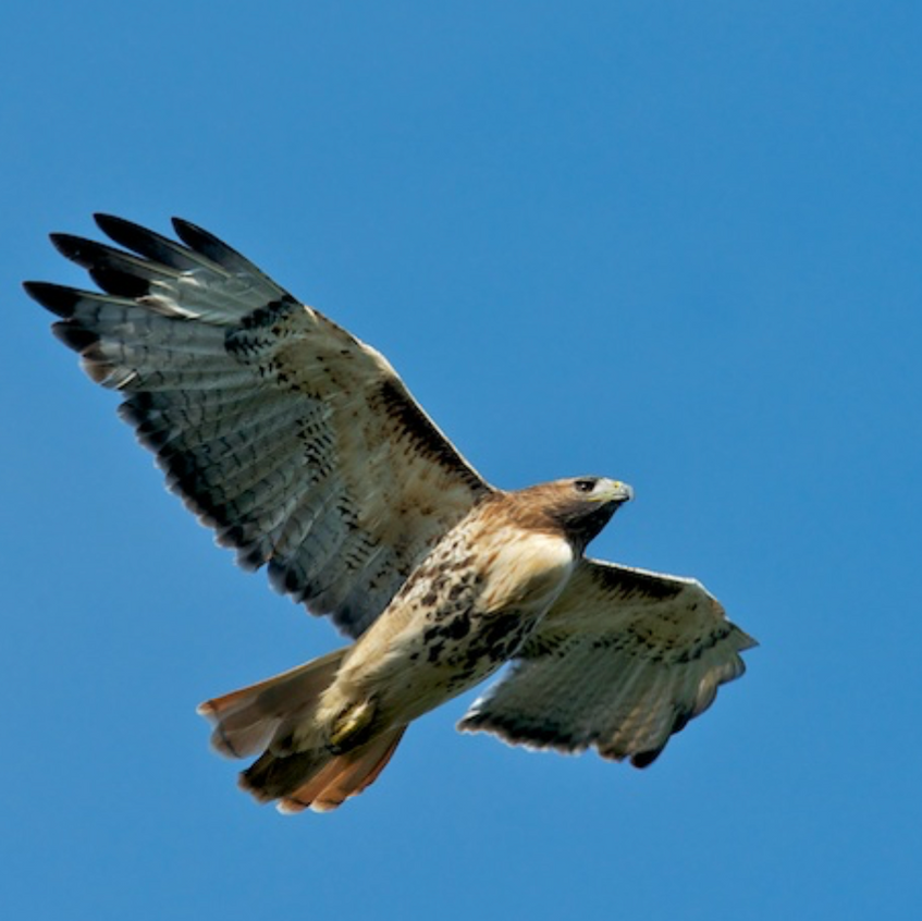 Red Tailed Hawk looks for lunch in the backyard