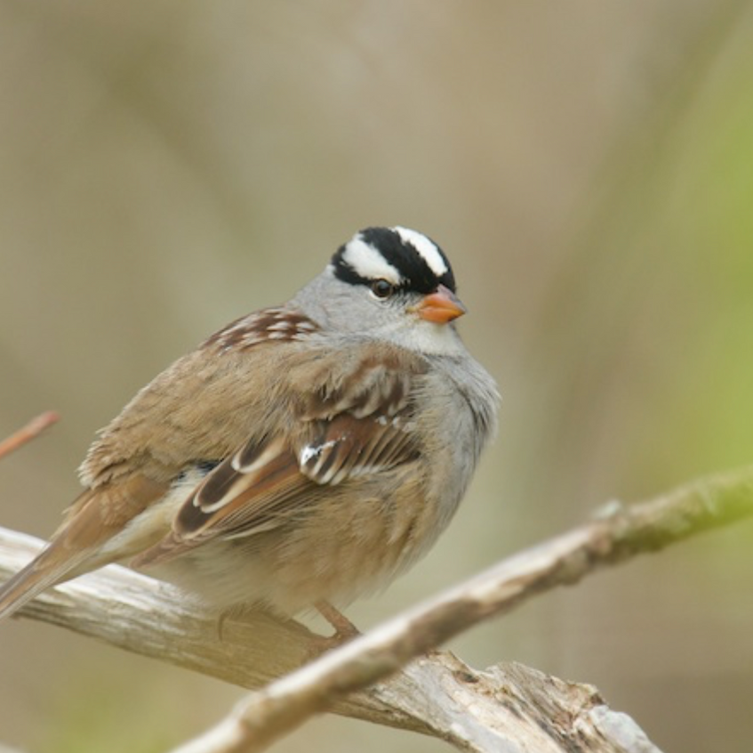 White Crowned Sparrow (a migrant passing through)