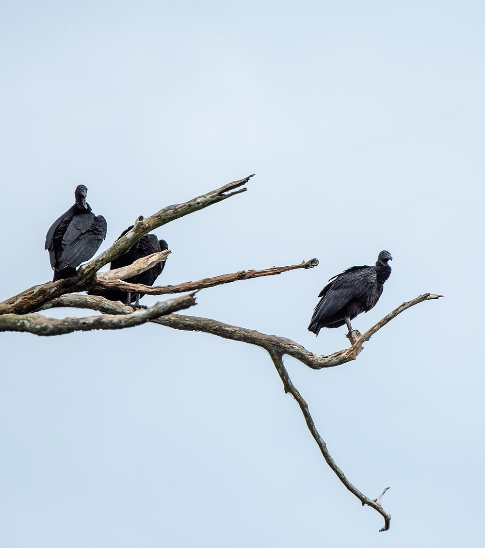 Black vultures roosting during the heat of the day