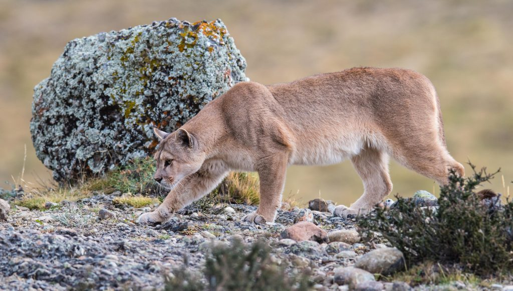 Female puma stalking an unsuspecting guanaco. She is also near full term and will very soon deliver a litter of puma kittens. -Torres del Paine, Chile (March 2016)