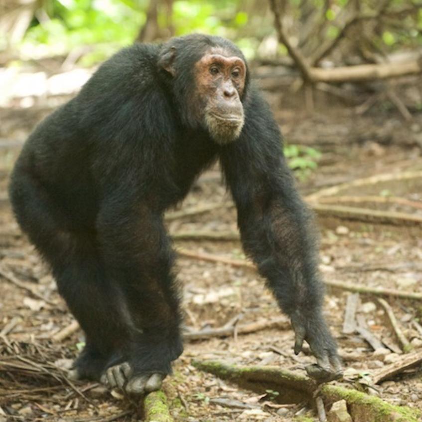 Male chimp known as Darwin