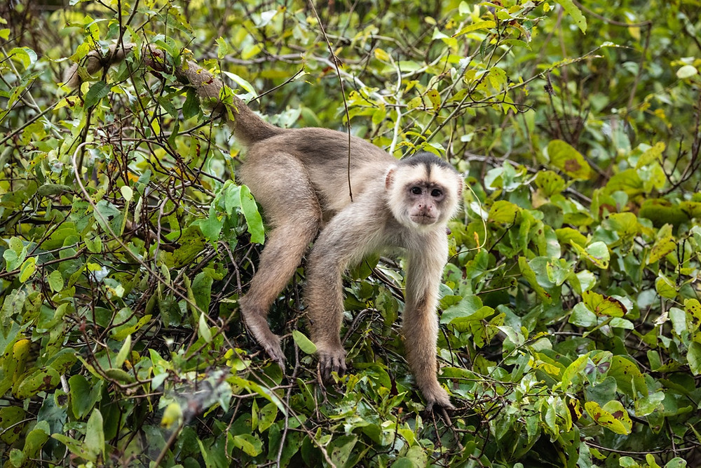 Humboldt's White fronted Capuchin
