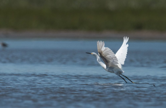 Snowy egret takes off.