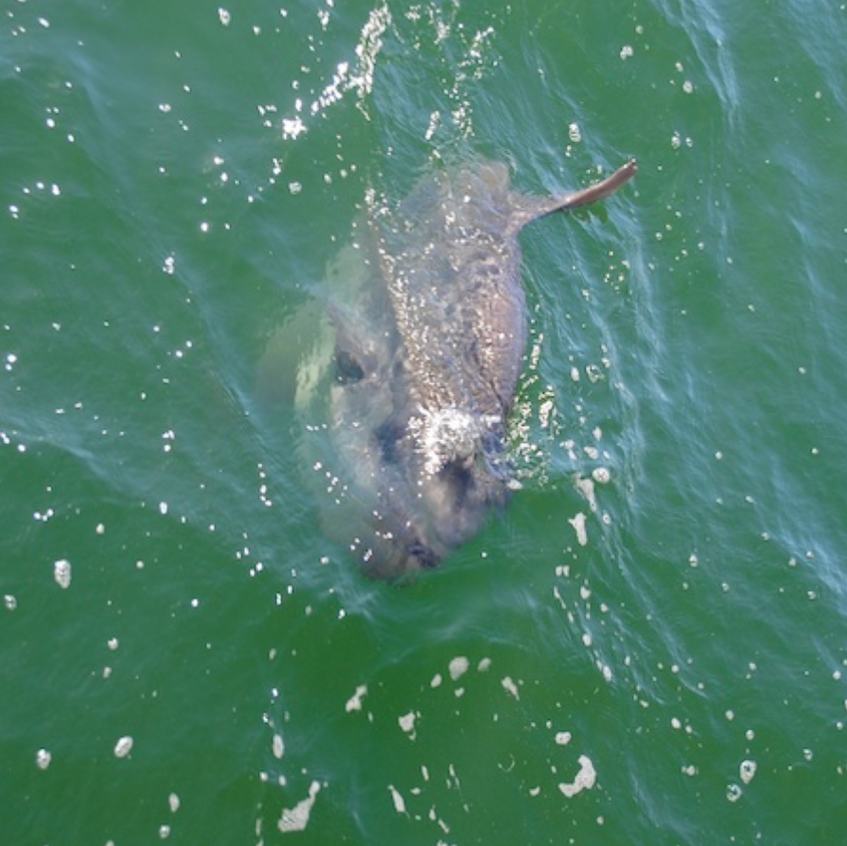 A Mola mola surfaces near the boat, these guys can weigh more than 1000 lbs!